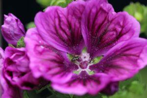 Malve violett